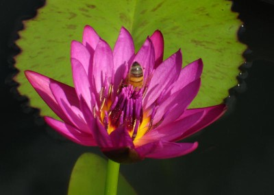 Nymphaea 'American Beauty'