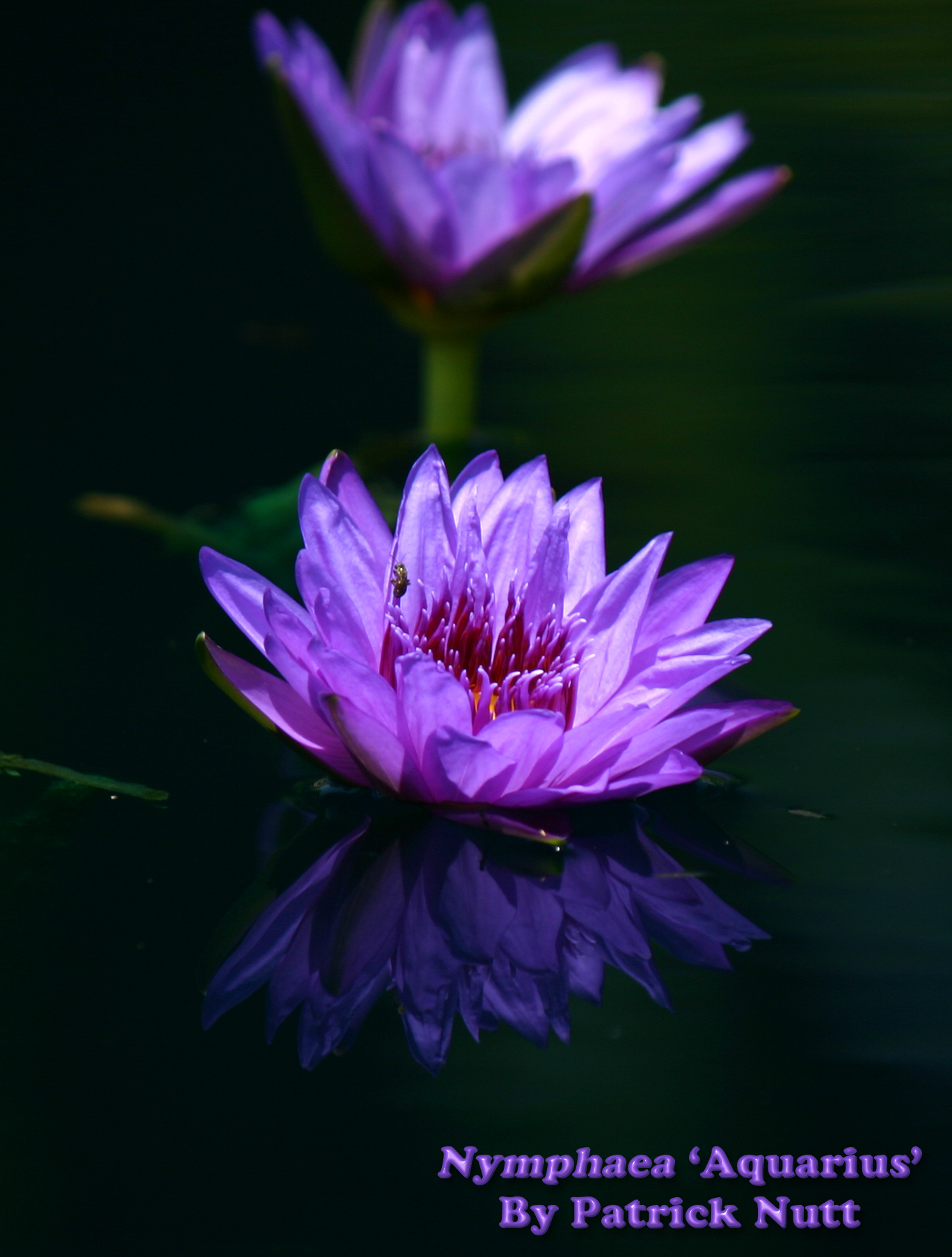Nymphaea 'Aquarius'