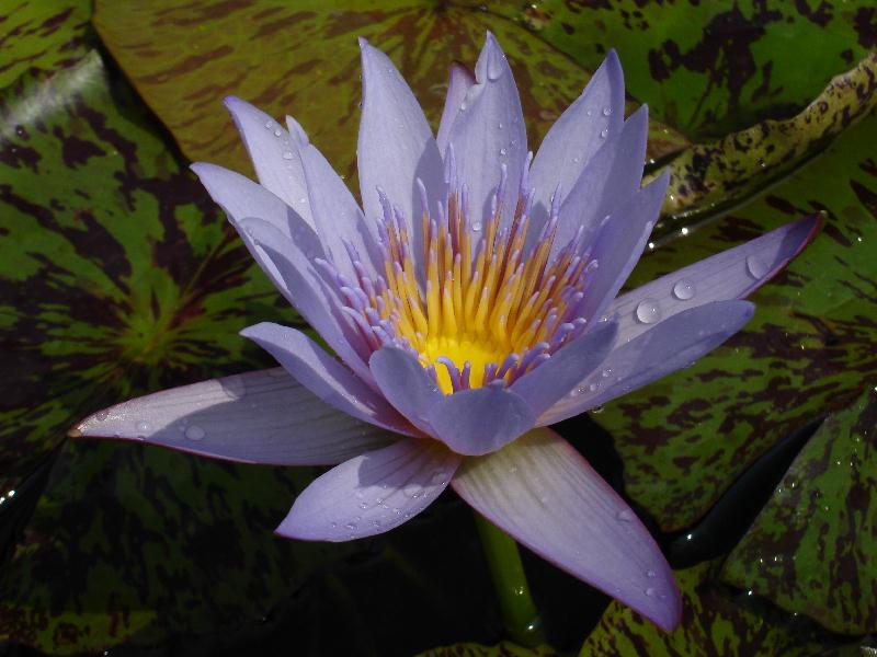 Nymphaea 'Blue Smoke'