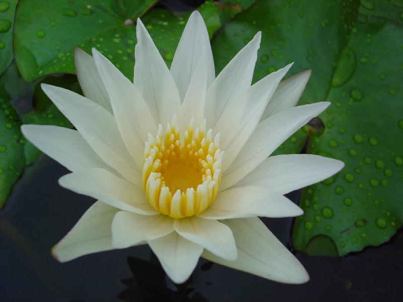 Nymphaea 'Crystal'