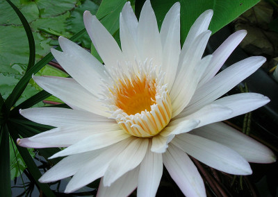 Nymphaea 'White Daisy' syn (Nymphaea 'Infinite Love')