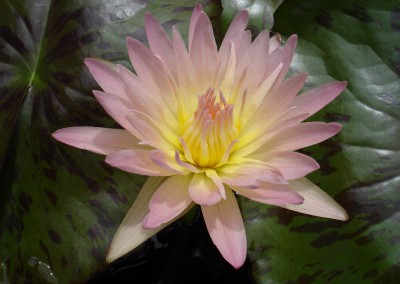 Nymphaea 'Day Glow'
