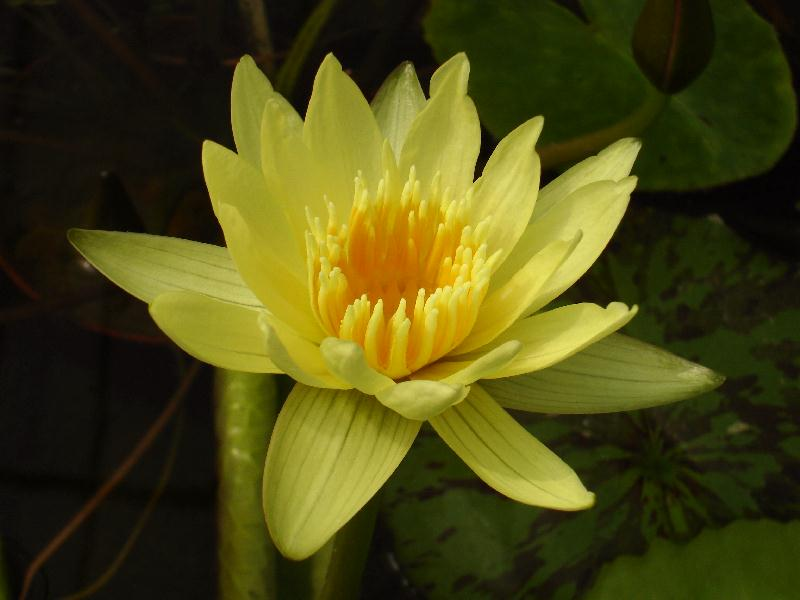 Nymphaea 'Dustin Horie'