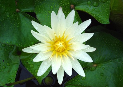 Nymphaea 'Florida Star'