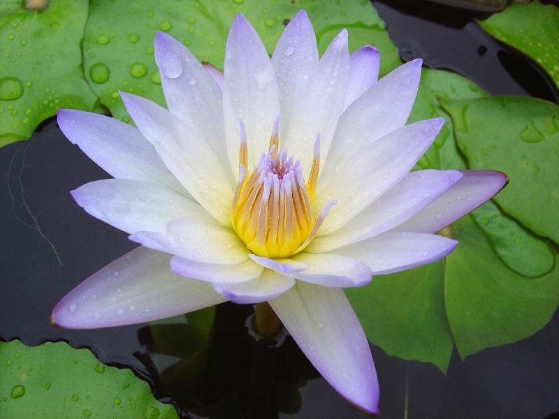 Nymphaea 'Forget-Me-Not'