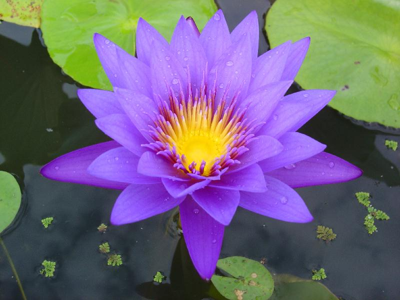 Nymphaea 'Garet's Blue' | International Waterlily Collection