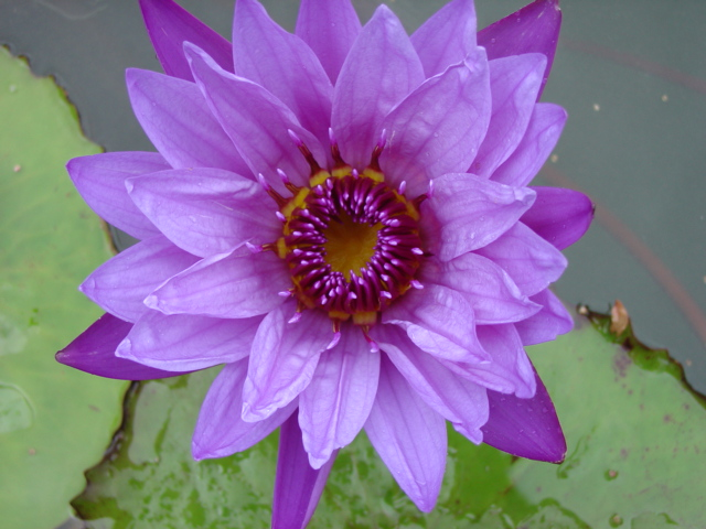 Nymphaea 'Henry Shaw'