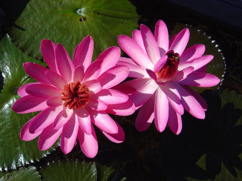 Nymphaea 'Hilo Rose'