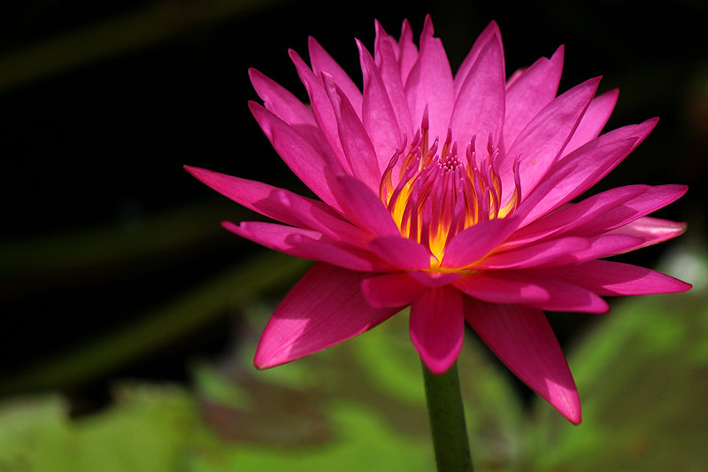 Nymphaea 'Hot Pink'