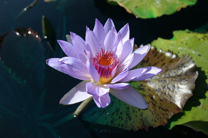 Nymphaea 'Jessie's Purple Passion'