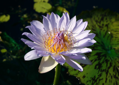 Nymphaea 'Blue Boy'