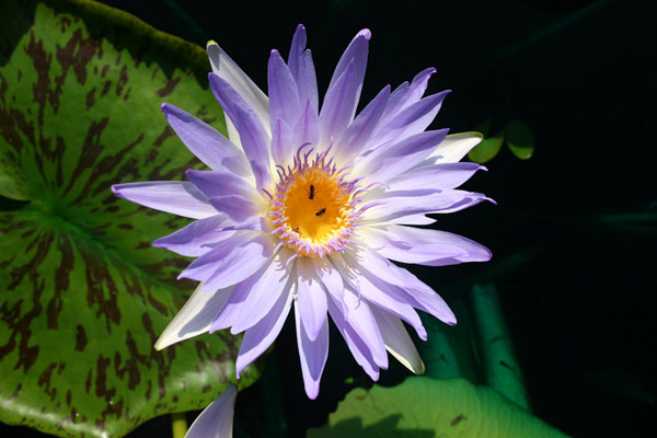 Nymphaea capensis Thunberg