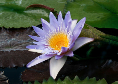 Nymphaea 'Blue Anemone'
