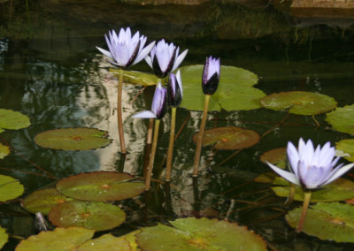 Nymphaea 'Blue Beauty' (syn. Nymphaea 'Pennsylvania')