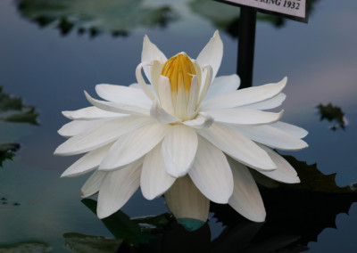 Nymphaea 'Missouri'