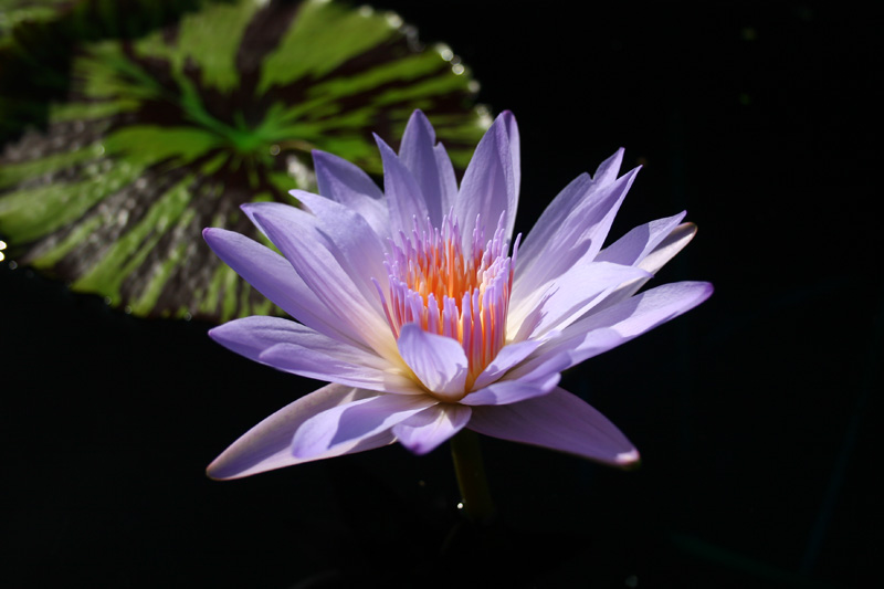 Nymphaea 'Bob Derby'