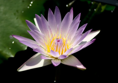 Nymphaea 'Hilary'