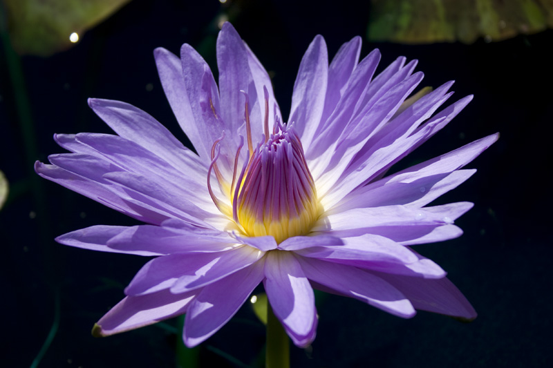 Nymphaea 'Blue Daisy'