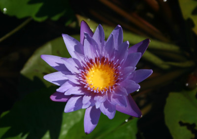 Nymphaea 'August Koch'