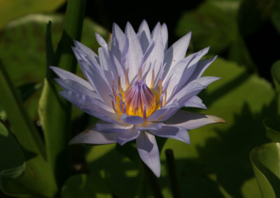 Nymphaea 'Blue Bird'
