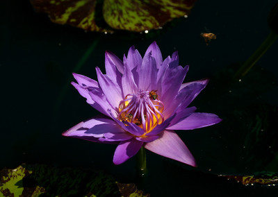 Nymphaea 'Eve's Solitaire'