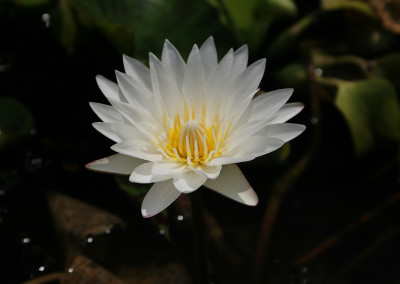 Nymphaea 'Innocence'