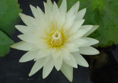 Nymphaea 'Isabelle Pring'