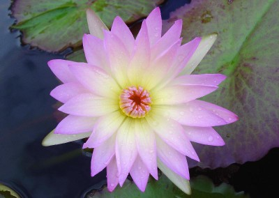 Nymphaea 'Jan'