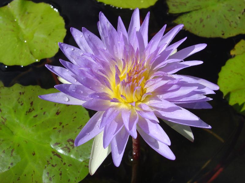 Nymphaea 'Kelly Mashiba'