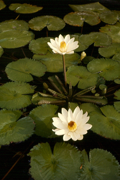Nymphaea lotus (Linnaeus) Willdenow