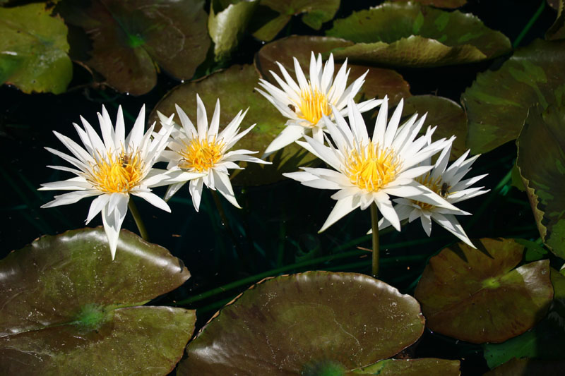 Nymphaea 'Rhapsody in White'