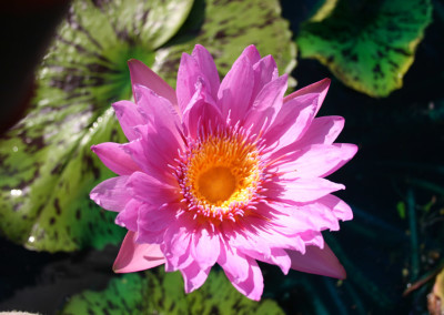 Nymphaea 'Pinkie'