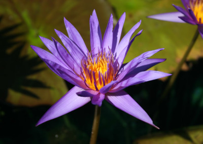 Nymphaea 'Rhapsody in Blue'