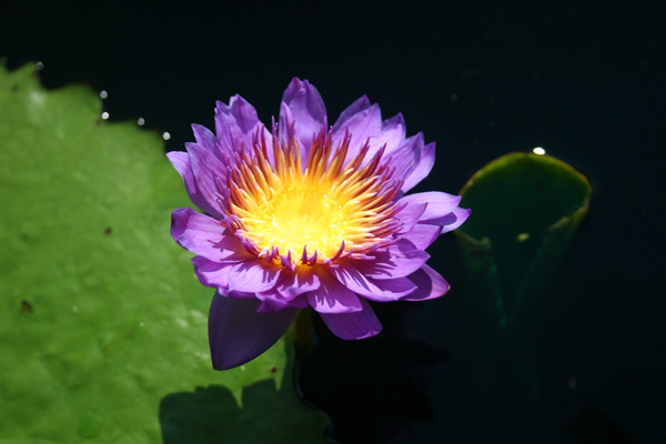 Nymphaea 'Mark Pullen'