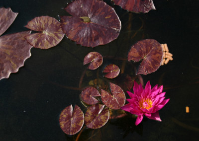Nymphaea 'Miami Rose'
