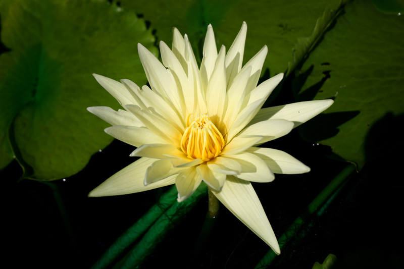 Nymphaea 'St. Louis'