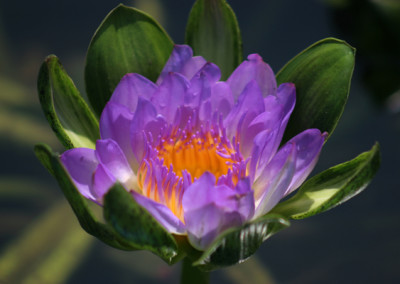 Nymphaea 'Nangkwag' syn (Nymphaea Indian Goddess)