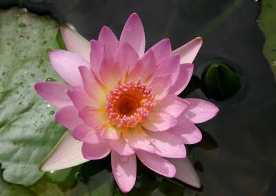 Nymphaea 'Peach Blow'