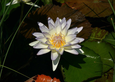 Nymphaea 'Moon Shadow'