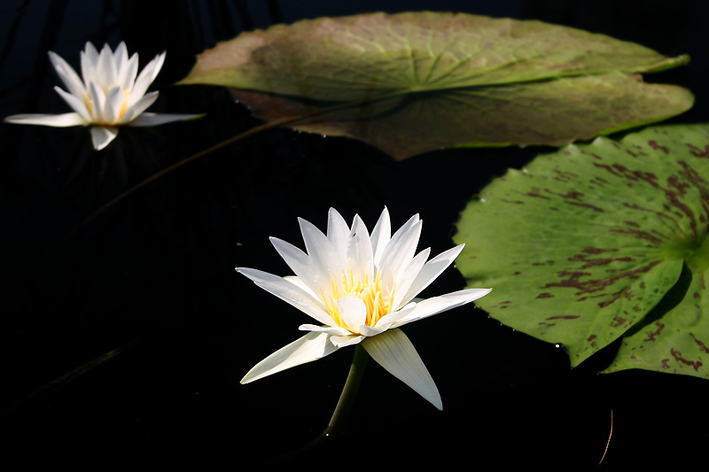 Nymphaea 'Mrs. George H. Pring'