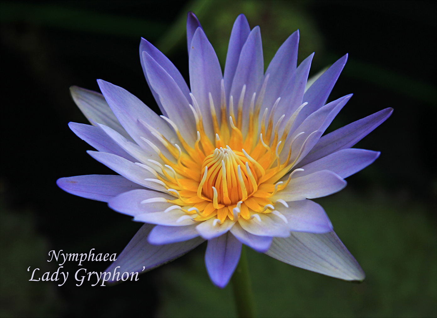 Nymphaea 'Lady Gryphon'