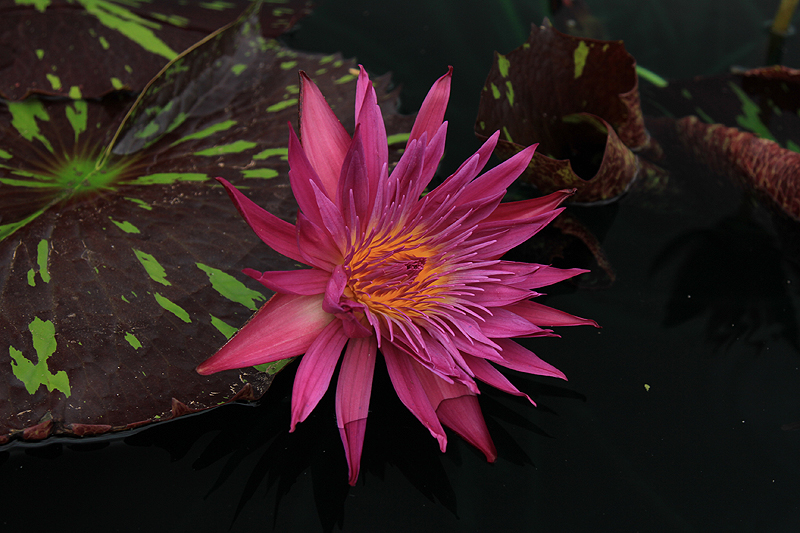 Nymphaea 'Laura Lee'