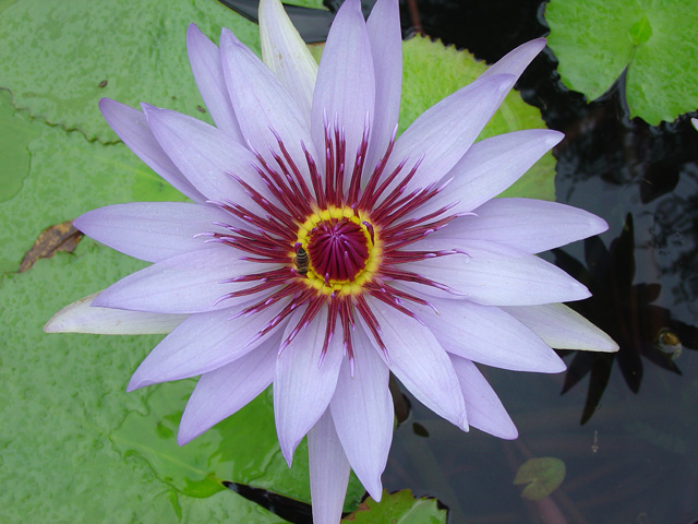 Nymphaea 'Lone Star'