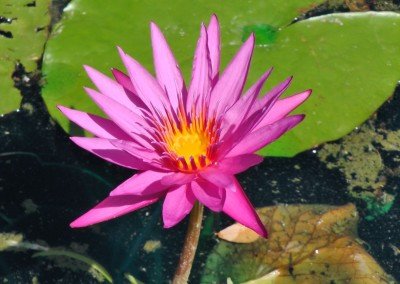 Nymphaea 'Queen Jill'