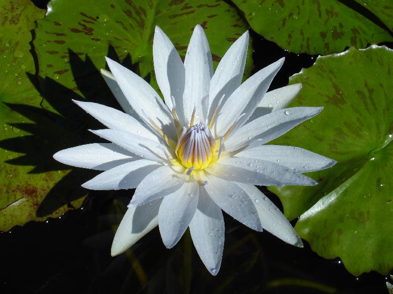 Nymphaea 'Mrs. Edwards Whitaker'