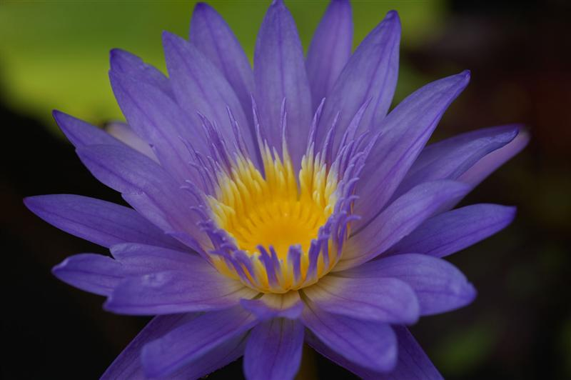 Nymphaea 'Leopardess'