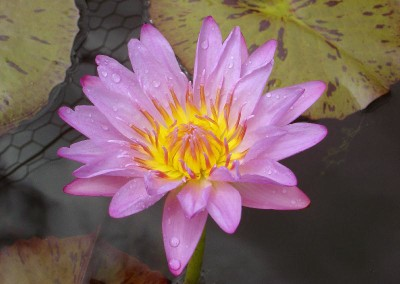 Nymphaea 'Pink Lace'
