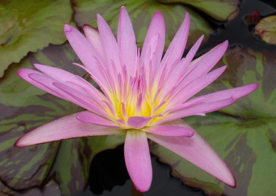 Nymphaea 'Pink Leopardess'