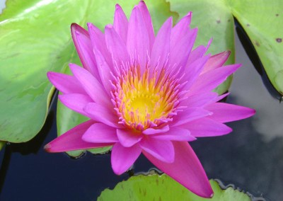 Nymphaea 'Praow' also spelled as Nymphaea 'Praw'