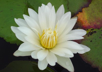 Nymphaea 'Purity'